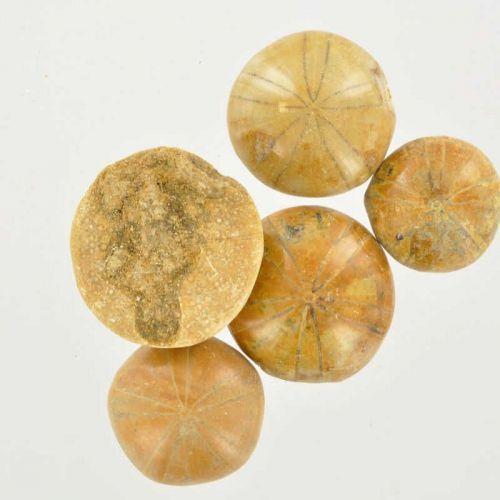 Poids du lot d'oursins fossilisés ( échinoïde) : 50 gr. 5 pierres env.