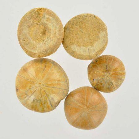 Poids du lot d'oursins fossilisés : 50 gr. 5 pierres env.